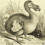 Se estima que el 99% de las especies que han existido se han extinguido, como el dodo.