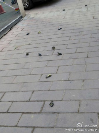 Más de 10 aves muertas fueron encontradas afuera de un hospital en Beijing, el 24 de abril de 2013. (Weibo.com)