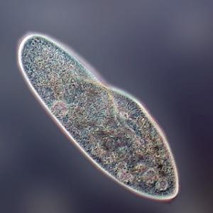 paramecium1