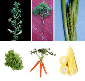 rriba se muestran los ancestros silvestres de la lechuga, zanahoria y maíz. Abajo se muestran los cultivos actuales, obtenidos a partir de los cultivos silvestres, mediante mejoramiento genético. (Fuente: Lo Natural [1])