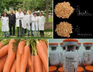 Algunas aplicaciones médicas en alimentos transgénicos: (Arriba) Trigo apto para enfermos celiacos – CSIC, España 2011. (Abajo) Taliglucerasa alfa producida en zanahorias para enfermedad de gaucher- Protalix, 2011